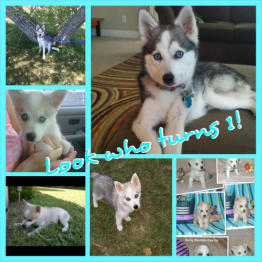 Klee Kai Family Pictures
