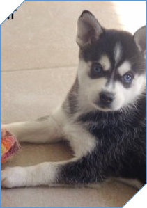 Klee Kai with Blue Eyes